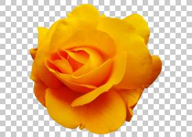 花卉剪贴画背景,蔷薇,桃子,切花,关门,玫瑰秩序,玫瑰家族,玫瑰,黄