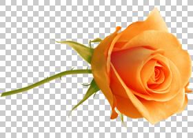 花卉剪贴画背景,蔷薇,植物,桃子,关门,玫瑰秩序,玫瑰家族,玫瑰,花
