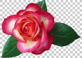 粉红色花卡通,一年生植物,山茶科,洋红色,蔷薇,花瓣,floribunda,