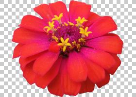 粉红色花卉背景,宇宙,雏菊家庭,粉红色家庭,一年生植物,洋红色,百