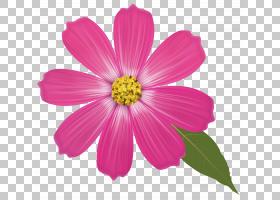 花卉背景自由,草本植物,洋红色,粉红色家庭,宇宙,一年生植物,雏菊