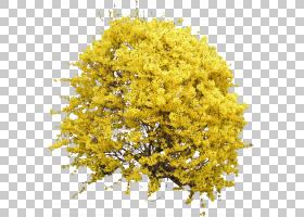 花纹,黄色,娘毛树,含羞草,花园里,纹理贴图,修剪,亚灌木,植物,树,