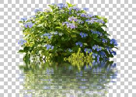 茶树,分支,草,水,树,植物群,植物,绣球花,Hydrangeaceae,玫瑰,布