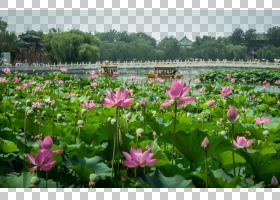 莲花,景观,灌木,草,一年生植物,池塘,神圣莲花,莲花族,水生植物,P