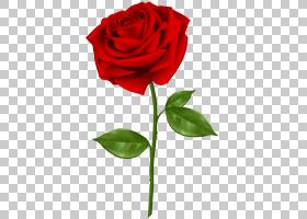 蓝色水彩花,芽,中国玫瑰,玫瑰秩序,花梗,粉红色,植物茎,杂交茶玫