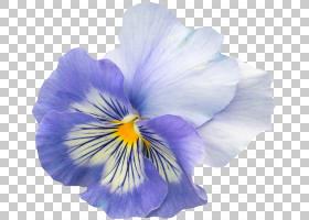 蓝鸢尾花,虹膜,种子植物,花瓣,中提琴,紫罗兰家族,紫罗兰科,野生