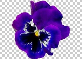 非洲家庭,卡特利亚,紫罗兰家族,中提琴,植物,野生三色堇,花瓣,紫