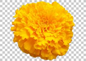 颜色背景,花瓣,黄色,金盏花,锅万寿菊,万寿菊,[医]多辐射白蜡虫(B
