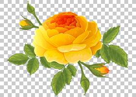 黄玫瑰,橙色,蔷薇,黄色,玫瑰秩序,玫瑰家族,植物,玫瑰,花瓣,蔷薇
