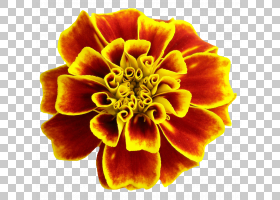 黄玫瑰,黄色,关门,橙色,安卓,花园玫瑰,康乃馨,花园里,颜色,玫瑰,