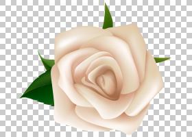 黑白花,花瓣,玫瑰家族,玫瑰秩序,桃子,植物,粉红色,切花,博客,花