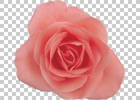 黑白花,蔷薇,玫瑰家族,玫瑰秩序,桃子,植物,粉红色,玫瑰,剪影,黑