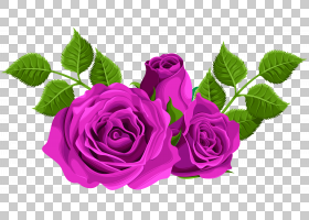 黑粉红玫瑰,花卉,花束,洋红色,蔷薇,紫罗兰,切花,花卉设计,花瓣,