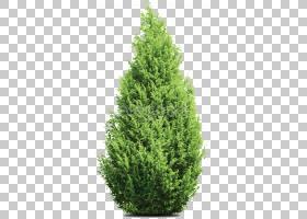 家谱背景,柏树族,紫杉家族,针叶树,温带针叶林,火灾,圣诞树,落叶
