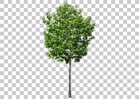 家谱背景,飞机树族,植物茎,分支,木本植物,灌木,叶,常绿,花,家具,图片