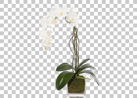 花卉剪贴画背景,兰花,白色,蛾兰,植物群,种子植物,卡特利亚,礼物,图片