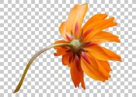 画卡通,雏菊家庭,桃子,野花,植物茎,植物,关门,花瓣,黄色,颜色,绘