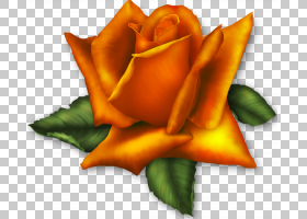 粉红色花卡通,桃子,关门,玫瑰秩序,花瓣,玫瑰家族,橙色,粉红色,花