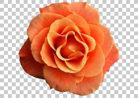 蓝色水彩花,花瓣,floribunda,切花,关门,蔷薇,玫瑰秩序,玫瑰家族,