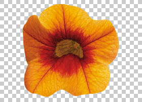 桃花,桃子,目录,橙色SA,Ucoz,冬季壁球,材质,黄色,花,橙色,花瓣,图片