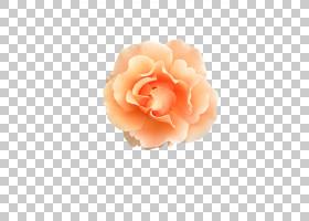 花卉剪贴画背景,牡丹,蔷薇,玫瑰秩序,橙色,玫瑰家族,沃尔索尔市,