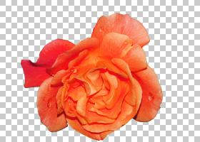粉红色花卡通,关门,蔷薇,玫瑰秩序,玫瑰家族,桃子,玫瑰,黄色,百合图片