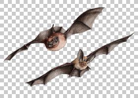 教育背景,机翼,蝙蝠,普尔科塔斯(Plecotus),体育运动,BATM,教育,图片