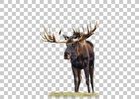 麋鹿,喇叭,野生动物,赞助商,广告,阿尔卑斯山野山羊,蝙蝠,鹿角,迁