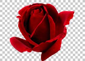 花卉剪贴画背景,花瓣,花束属(Floribunda),切花,近距离观察,玫瑰