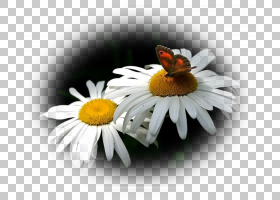 背景家庭日,传粉者,雏菊家庭,蜜蜂,雏菊,四月,圣诞节当天,羊皮纸,