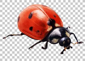 瓢虫,象虫,甲虫,瓢虫,乌科兹,鼻部,7月16日,奥尔库特,2017年,兆字