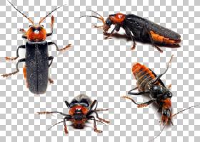 蟑螂卡通,害虫,昆虫,膜,象虫,甲虫,蟑螂,