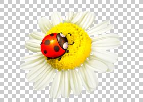 花卉模具,甲虫,花瓣,花粉,近距离观察,雏菊,瓢虫,黄色,模板,瓢虫