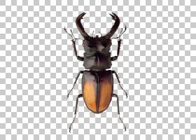 大象背景,喇叭,鹿角,害虫,圣甲虫,鹿,犀牛甲虫,昆虫,大力神甲虫,图片