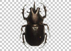 大象背景,圣甲虫,粪甲虫,象虫,犀牛甲虫,昆虫,大力神甲虫,日本犀图片