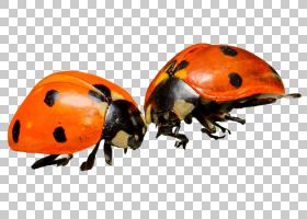 橙色背景,象虫,桔黄色的,瓢虫,昆虫,渲染,动物,瓢虫瓢虫,害虫,甲