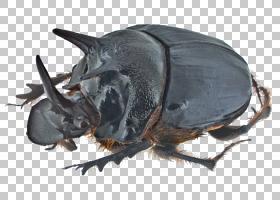 大象背景,苍蝇,暗色甲虫,角鲨科(Cetoniidae),犀牛,瓢虫,象甲,地图片