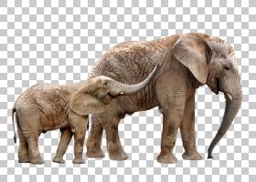 印度象,印度象,动物园,野牛,尼亚拉,濒危物种,野生动物,动物,大象图片