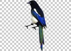 飞机卡通,羽毛,喙,鸣鸟,乌鸦似鸟,栖息的鸟,喜鹊,钴蓝,机翼,周,蓝图片