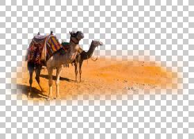 摄影机卡通,骆驼般的哺乳动物,阿拉伯骆驼,如果我们,摄像机,沙漠,