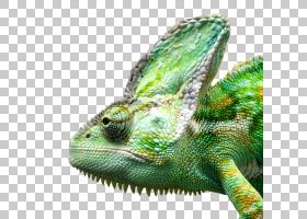 摄影机卡通,鬣蜥,鬣蜥,鳞片爬行动物,非洲变色龙,变色龙,普通鬣蜥