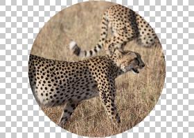 卡通自然背景,狩猎之旅,鼻部,豹子,非洲,南非,野生动物摄影,自然