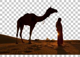 印度妇女,景观,牲畜,骆驼般的哺乳动物,阿拉伯骆驼,印度,骆驼,沙