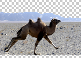 狐狸卡通,景观,生态区,阿拉伯骆驼,骆驼般的哺乳动物,生态系统,野