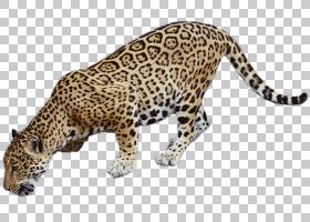 卡通猫,动物形象,猎豹,鼻部,豹子,捷豹,野生动物,摄影师,宠物,猫,