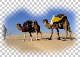 旅行背景,景观,阿拉伯骆驼,骆驼般的哺乳动物,骆驼,度假,绘画,远