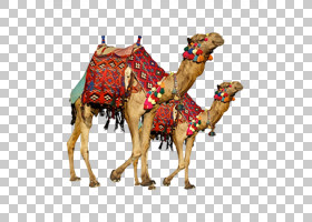 单峰骆驼,牲畜,阿拉伯骆驼,骆驼般的哺乳动物,骆驼,桌面墙纸,摄影
