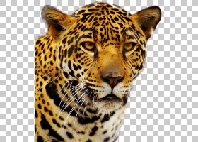电视卡通,胡须,鼻部,豹子,捷豹,野生动物,移动电话,手持设备,电脑