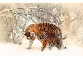 雪地里的老虎