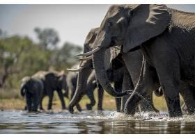 饮水的象群